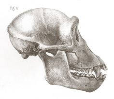 The skull of a common chimpanzee