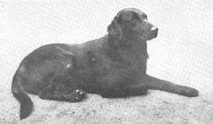 (Brayton) Sir Richard (1899)- Norfield, Reg., Labrador Retrievers