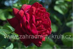 růže burgund - Hledat Googlem Garden, Flowers, Plants, Compost, Garten, Lawn And Garden, Gardens, Plant, Gardening