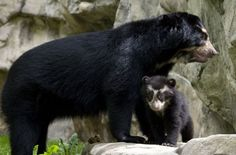 Spectacled Bear and Baby