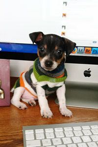 """It's amazing that I get any work done at all...""""Cash"""", Rat Terrier puppy, 7 weeks old"""