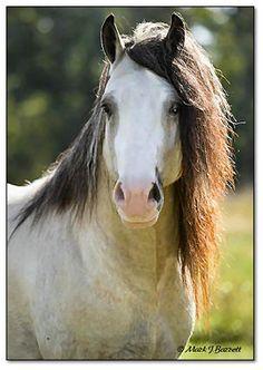 Gypsy Vanner Stallion Taskin (his coloring is called champagne buckskin)