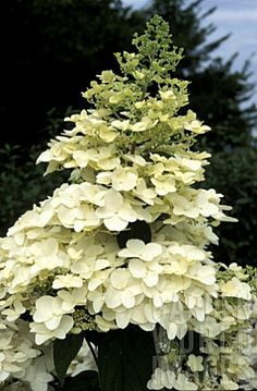 Hydrangea Paniculata. July 2013. Hardy shrub with stunning large cone-shaped flower heads of creamy white, green or pink. Requires plenty of space.