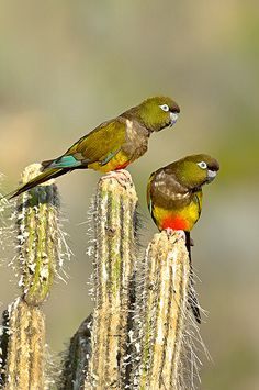 Loro Tricahue Chile ( cyanoliseus patagonus) AKa Patagonia conjure in USA. Small Birds, Colorful Birds, Animals And Pets, Funny Animals, Orange Bird, Chili, Bird Drawings, Mundo Animal, Exotic Birds