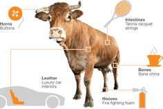 The unusual uses for cattle body parts Credit: BBC News Science & Technology