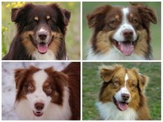 These are all Red Tri Australian Shepherds. The red (Self, Bi, Tri or Merle) Australian Shepherds can be practically any color red. They range from strawberry blonde to dark dark liver. Some red Aussies even appear to look black at first glance. Red Tri Australian Shepherd, Australian Shepherd Training, American Shepherd, Aussie Shepherd, Shepherd Puppies, Blue Merle, Aussie Dogs, Mini Aussie, Loyal Dogs