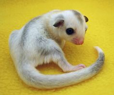 Meet Angel, a beautiful true platinum mosaic born here at NH Sugar Gliders. Sugar Glider For Sale, Sugar Glider Baby, Animals And Pets, Baby Animals, Cute Animals, Baby Skunks, Baby Bunnies, Bunny, Animales