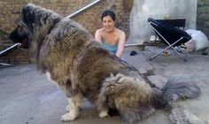 Funny pictures about Gigantic Russian Bear Dog. Oh, and cool pics about Gigantic Russian Bear Dog. Also, Gigantic Russian Bear Dog photos. Massive Dogs, Huge Dogs, Giant Dogs, Massive Dog Breeds, Giant Dog Breeds, Funny Dogs, Funny Animals, Cute Animals, Beautiful Dogs
