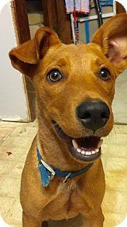 Little Rock, AR - Terrier (Unknown Type, Medium). Meet SHELBY, a dog for adoption. http://www.adoptapet.com/pet/16398074-little-rock-arkansas-terrier-unknown-type-medium