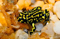 Northern Corroboree Frogs (Pseudophryne pengilleyi) are now listed as critically endangered. Located in the alpine habitats of Brindabella Range and Fiery Range on the border of NSW and ACT they their numbers have been severely declining for the past two decades. © Steve Parish/Nature Connect