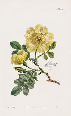 William Curtis Botanical Magazine Antique Prints 1787-1817 900 x 1471