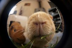 and your big, fish eye lens! Cute Guinea Pigs, Guinea Pig Care, Guinea Pig Supplies, Dumb Animals, Guinea Pig Breeding, Pig Art, Funny Hats, Animal Species, Photo Reference