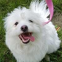 Print Milo Dog • Coton de Tulear Mix • Young • Male • Small Life is Better Rescue, Inc. Lakewood, CO