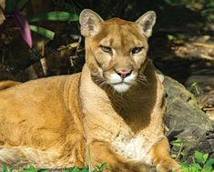 14 Best Florida Panther Images In 2013 Panther Big Cats