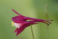 Columbine by Justin Grenon on 500px