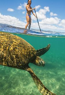 Stand up paddle boarding with Hawaiian sea turtles on the north shore of Kauai - Life is good!