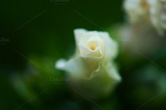 White, Rose of Sharon,  by dg. seaton on @creativemarket