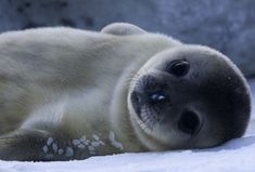 The newborn seal pups possess the most well-developed brains compared to other mammals, but that advantage comes with a cost