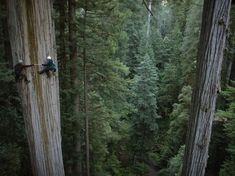 Yes, it is a redwood tree and they are climbing it