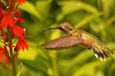 Hummers at the Arboretum in Guelph