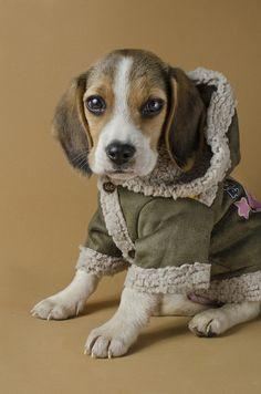 米格魯  Beagle