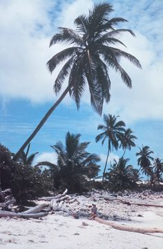 Palm trees on the islands. ◆Cocos (Keeling) Islands http://en.wikipedia.org/wiki/Cocos_%28Keeling%29_Islands #Cocos_Islands #Keeling_Islands