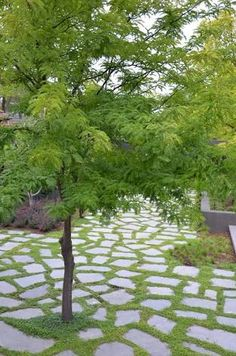 Afbeeldingsresultaat voor Gleditsia triacanthos var. inermis 'Elegantissima leaves