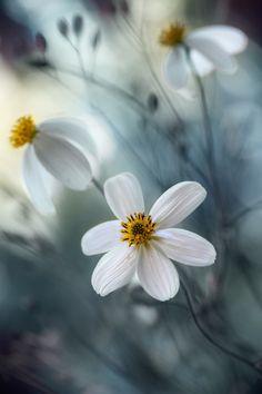 daisies, blue