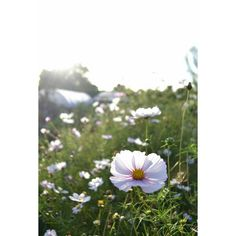 Cosmos still going strong... #cosmos #picotee #october #flowerfield #fieldofflowers