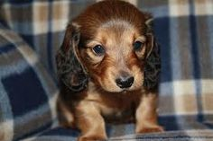 Miniature Longhaired Doxie puppy