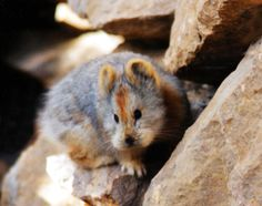 The Ili pika makes its home in China's Tian Shan Mountains. The Ili pika is only about 8 inches long, and is a relative of rabbits and hares
