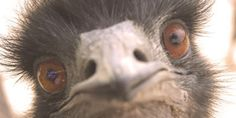 emu | Someone Shot Mary The Emu, And This Animal Rescue Wants Justice