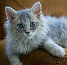 √ 8 Unique Curly Haired Cat Breeds That Suitable For Family's Pet Cute Cats And Kittens, I Love Cats, Cool Cats, Kittens Cutest, Kitty Cats, Grey Cat Breeds, Fluffy Cat Breeds, Laperm, American Wirehair