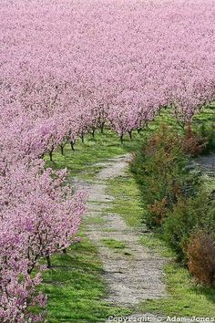 ✯ Peach Orchard - Lancaster, CA ~~ This is the Harris Ranch I believe, which we saw in spring in California, while driving through the desert to San Francisco. We drove for a hundred miles and saw what looked like Paradise on earth.