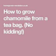 How to grow chamomile from a tea bag. (No kidding!)