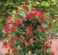mandevilla plants - grows easily and hearty