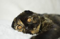 Female Scottish Fold- Black Tortie | Bury St Edmunds, Suffolk | Pets4Homes