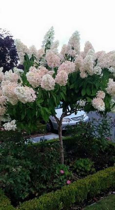 Hydrangea paniculata pinky winky This is not my yard but seen in a friend s neighborhood Of course I want Hydrangea Tree, Hydrangea Garden, Garden Shrubs, Garden Trees, Lawn And Garden, Trees To Plant, Hydrangeas, Limelight Hydrangea, Roses Garden
