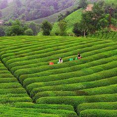 Çay Bahçeleri, Çayeli Rize Foto @halukky www.kucukoteller.com.tr/rize-otelleri.html