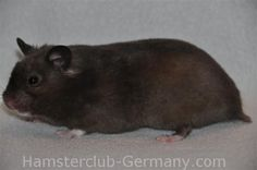 Black Homozygot Extreme Dilute SH male (aa cece) | Hamster Club Germany - Farbschläge des Syrischen Goldhamsters