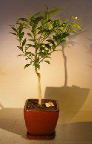 Flowering Tangerine Citrus Bonsai Tree  Seedless kishu mandarin *** Learn more by visiting the gardening image link.