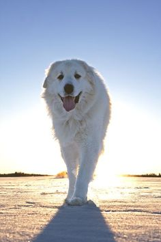 Morning walks with a Great Pyrenees at sunrise