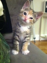 TROPICANA is an adoptable Domestic Short Hair Cat in Boston, MA.  ...