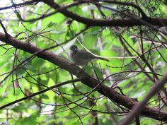"""a Willow tit or """"kogara"""" in Japanese. 9 July 2016."""