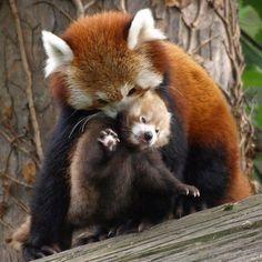 Pandas roux maman et bébé
