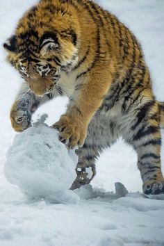 Tiger playing in the snow