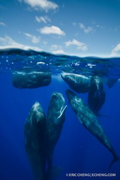 Split image of a group of sperm whales (Physeter macrocephalus) rubbing up against each other while socializing
