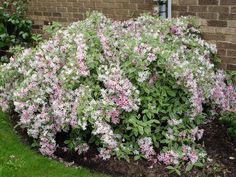 Variegated Weigela grows about 4 feet tall with a 5-foot spread. Dwarf 'Variegated Nana' is about 3 by 3, and 'My Monet' is a notch smaller still.