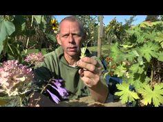 Pflanzen Vermehrung Teil 1. Stecklinge vom Storchschnabel (Geranium). Gä...