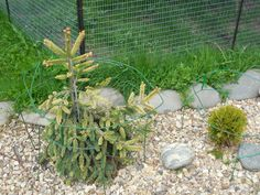 2015 picea abies Gold Drift and thuja occidentalis Miriam
